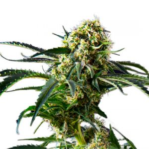 Big Black Indica Feminized
