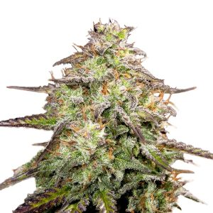 M.O.A.B - MOTHER OF ALL BUDS ®