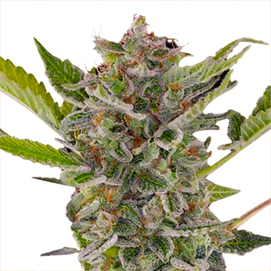 WHITE WIDOW XTRM ® FEMINIZED